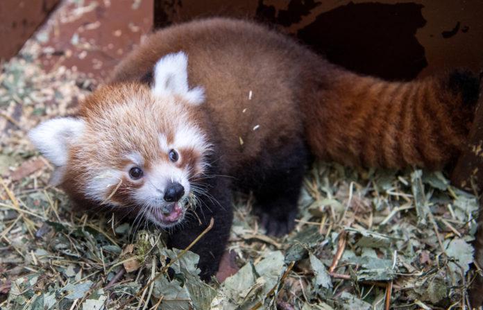 Tierpark Hellabrunn - Kleiner Panda