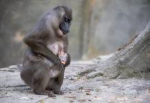 Hellabrunn: Drill-Baby Shari ist Artenschutzbotschafterin für in-situ-Projekt in Kamerun