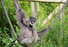 Welt-Gibbon-Tag in Hellabrunn