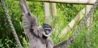 Welt-Gibbon-Tag in Hellabrunn