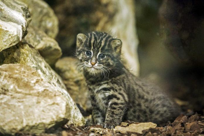 Tierpark Hellabrunn: Fischkatze Luzi hat Nachwuchs bekommen
