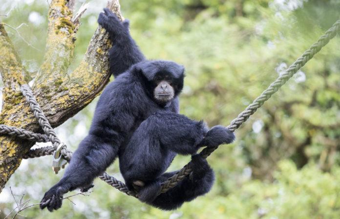 Das Zootier des Jahres 2019 ist der Gibbon