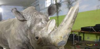Cirkus Krone: Nashorn mit Bauchschmerzen