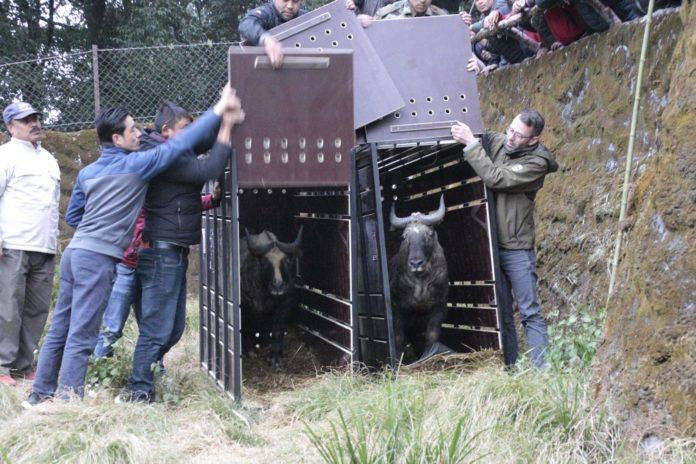Tierpark Hellabrunn: Mishmi-Takin Ramona ist in Darjeeling angekommen