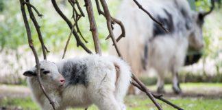 Hellabrunner Yaks werden Teil eines Beweidungsprojektes