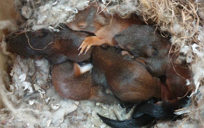 Feuerwehr rettet fünf Eichhörnchenbabys
