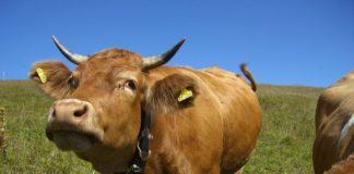 Kuhglockenstreit geht in die nächste Runde: Kläger reicht Nichtzulassungsbeschwerde beim BGH ein