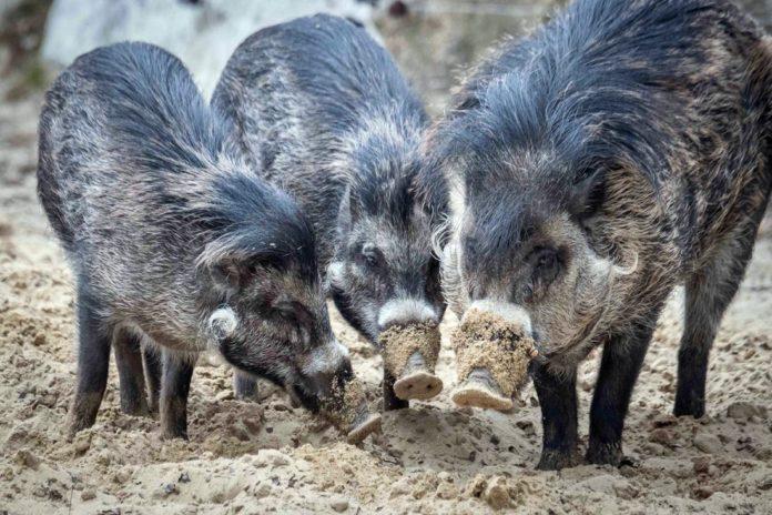 Neue Visayas-Pustelschweine in Hellabrunn