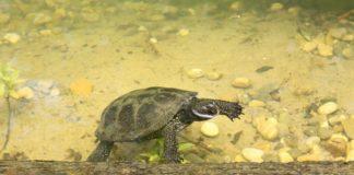 Sumpfschildkröten haben ein neues Zuhause im Hellabrunner Mühlendorf