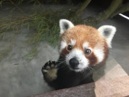 Tierpark Hellabrunn: Neues Zuhause für Panda Shamina