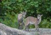 Hellabrunn: Zweifacher Nachwuchs bei den Alpensteinböcken