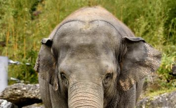 Elefantenkuh Temi erwartet Nachwuchs
