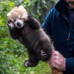Neuer Nachwuchs bei den Roten Pandas in Hellabrunn