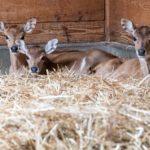 Vier gewinnt: Zweimal Zwillinge bei den Nilgauantilopen in Hellabrunn!