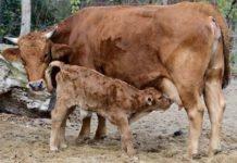 Tierpark Hellabrunn: Nachwuchs bei den Murnau-Werdenfelsern