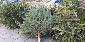 AWM sammelt Christbäume kostenfrei ein
