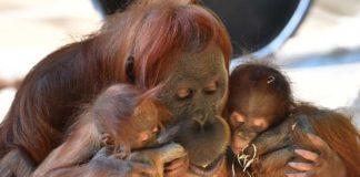 Hellabrunn: Orang-Utan Matra ist tot