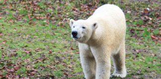 Eisbärin Quintana verlässt Hellabrunn – Zwei neue Mitbewohnerinnen für Giovanna