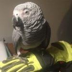 Bogenhausen: Papagei sucht menschliche Nähe