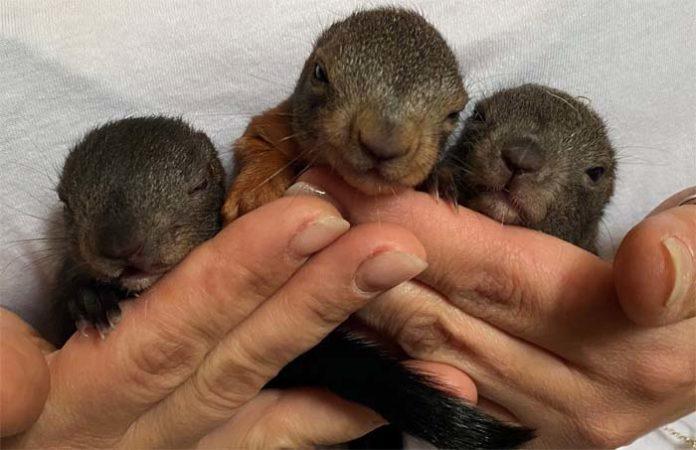 Angriffslustiger Rabe attackiert Eichhörnchennest