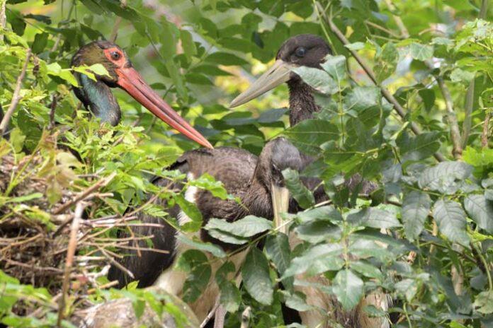 Hellabrunn züchtet erfolgreich Schwarzstorch-Nachwuchs