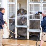 Vorbereitung auf die Hellabrunner Elefantengeburt im Herbst