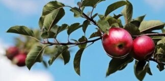 Jeder Apfel zählt – mit Genuss die Streuobstkultur in Bayern unterstützen