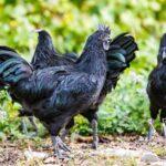 Neue Mitbewohner für die Java-Bantengs: Ayam Cemani-Hühner als Neuzugänge in Hellabrunn
