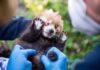 Roter Panda Nachwuchs in Hellabrunn