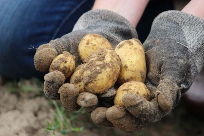 Kartoffeln selber klauben in München