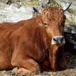 Zoos starten Zuchtprojekt zugunsten bedrohter Nutztierrassen