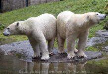 Giovanna, Nookie und Nuna: Die neue Eisbären-Weibchen-Gruppe in Hellabrunn