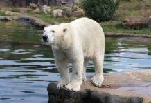 Eisbär Nanook