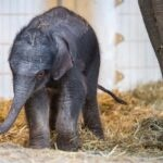 Hellabrunn: Elefant Otto erkundet sein Zuhause