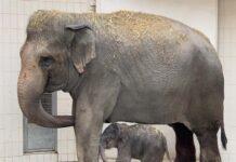 Große Freude in Hellabrunn - Elefantendame Temi ist erneut Mutter!