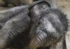 Elefant Otto beim Schlammbaden