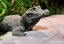 Hellabrunn: Das Zootier des Jahres 2021 ist das Krokodil