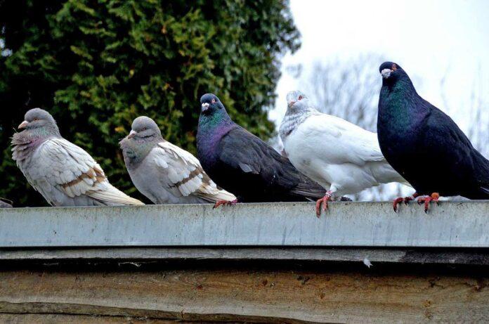 Neuperlach: 35 Brieftauben aus Vogelvoliere geklaut