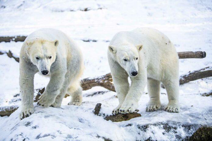 Am Samstag ist Internationaler Eisbärentag