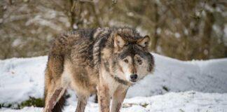 Hellabrunn: Wolf Asslan verstorben