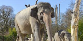 Tierpark hellabrunn: Elefant Otto zum ersten Mal auf der Außenanlage