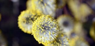 Covid-19-Risiko steigt bei Pollenflug