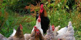 Geflügelpest: Aufstallungspflicht für alle Geflügelhaltungen