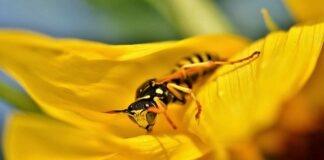 Achtung: Wespen- und Hornissenköniginnen auf Wohnungssuche