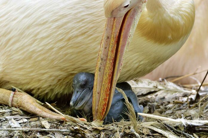 Nachwuchs bei den Hellabrunner Pelikanen