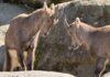 Hellabrunn beteiligt sich an Alpensteinbock-Auswilderung