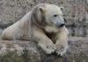 Hellabrunn: Zahn-OP für Eisbärin Giovanna