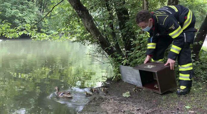 Elster attackiert Entenfamilie - Feuerwehr kommt zu Hilfe