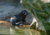 Mähnenrobben-Nachwuchs in Hellabrunn: 'Mädchen aus dem Wasser'