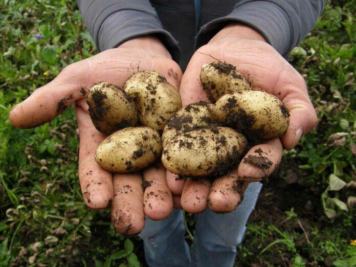 Kartoffeln selber klauben